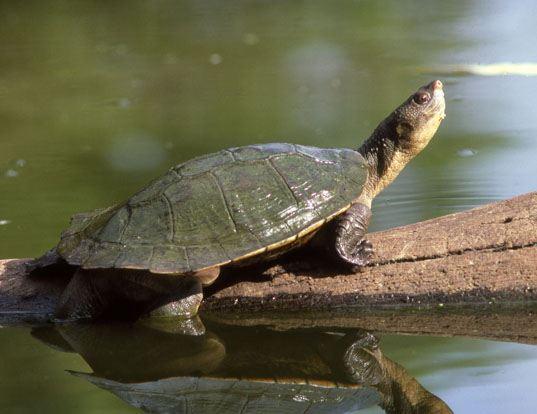 Picture of a krefft's river turtle (Emydura krefftii)