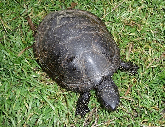 Picture of a european pond tortoise (Emys orbicularis)