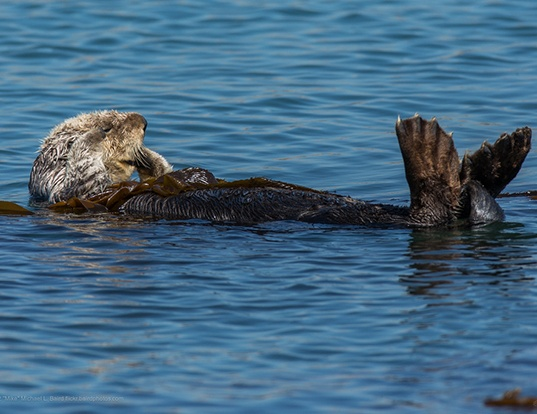 Picture of a sea otter (Enhydra lutris)