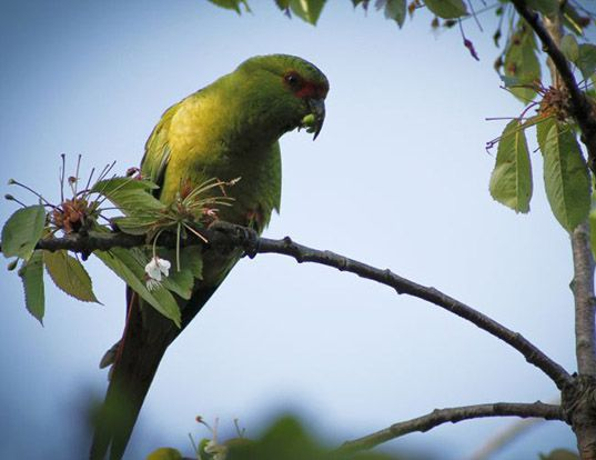 Picture of a slender-billed conure (Enicognathus leptorhynchus)