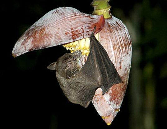 Picture of a dawn bat (Eonycteris spelaea)
