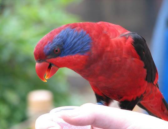 Picture of a black-winged lory (Eos cyanogenia)