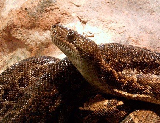 Picture of a cuban boa (Epicrates angulifer)