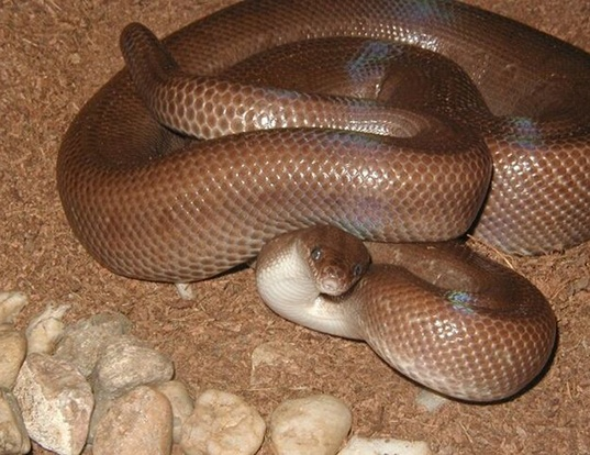 Picture of a colombian rainbow boa (Epicrates cenchria maurus)