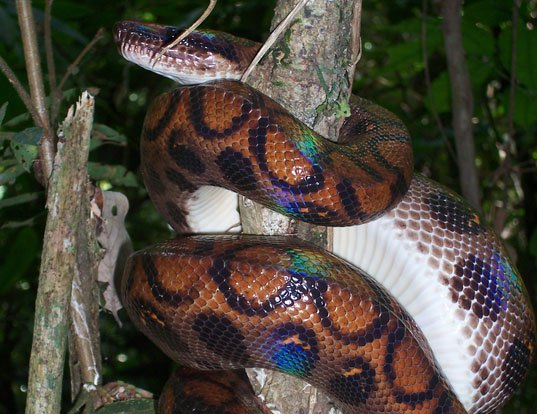 Picture of a rainbow boa (Epicrates cenchria)