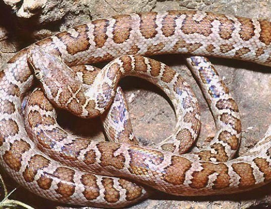 Picture of a ford's boa (Epicrates fordii)