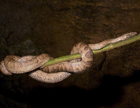 Picture of a puerto rican boa (Epicrates inornatus)
