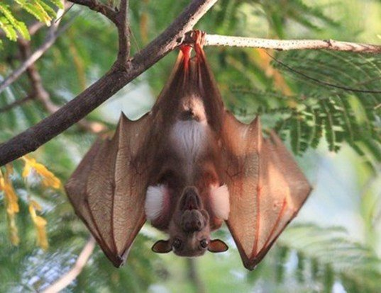 Picture of a gambian epauletted fruit bat (Epomophorus gambianus)