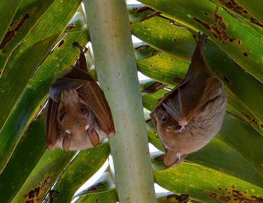 Picture of a wahlberg's epauletted fruit bat (Epomophorus wahlbergi)