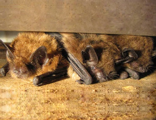 Picture of a big brown bat (Eptesicus fuscus)