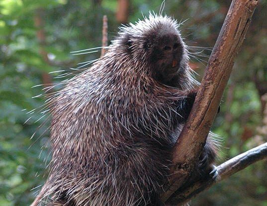 Picture of a north american porcupine (Erethizon dorsatum)