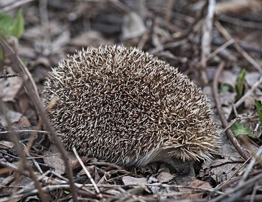 Picture of a manchurian hedgehog (Erinaceus amurensis)