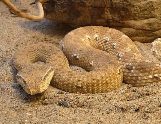 Picture of a mcmahon's viper (Eristicophis macmahonii)