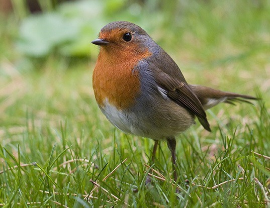 Picture of a european robin (Erithacus rubecula)
