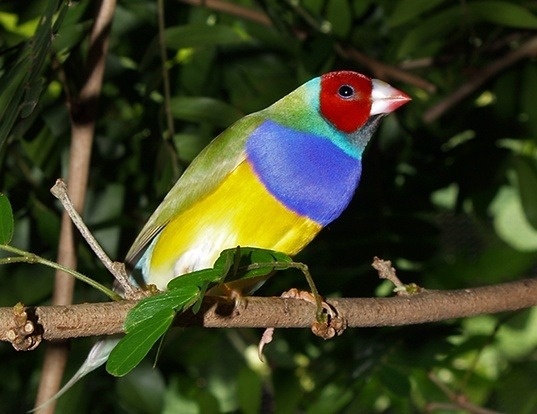 Picture of a gouldian finch (Erythrura gouldiae)