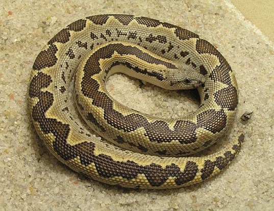 Picture of a rough-tailed sand boa (Eryx conicus)
