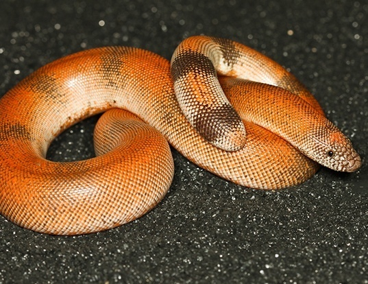 Picture of a brown sand boa (Eryx johnii)