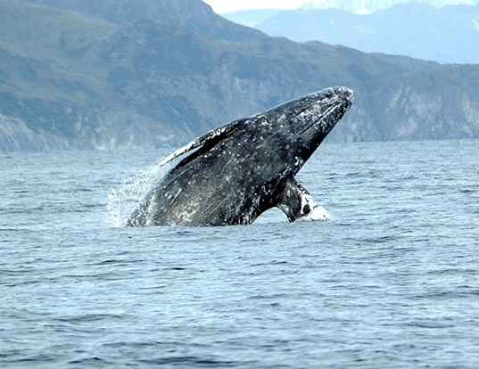 Picture of a gray whale (Eschrichtius robustus)