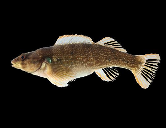 Picture of a yoke darter (Etheostoma juliae)