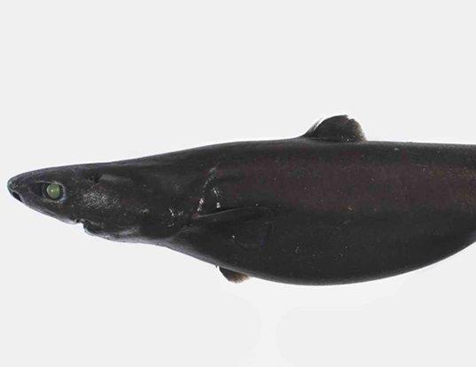 Picture of a southern lantern shark (Etmopterus baxteri)