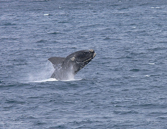 Picture of a southern right whale (Eubalaena australis)