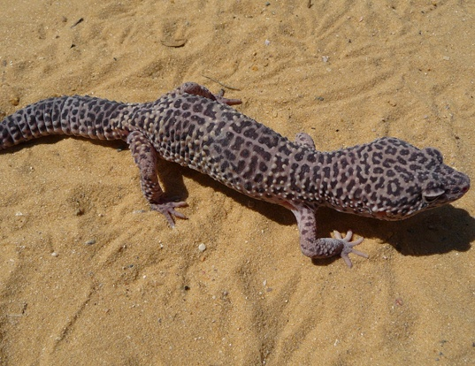 Picture of a leopard gecko (Eublepharis macularius)