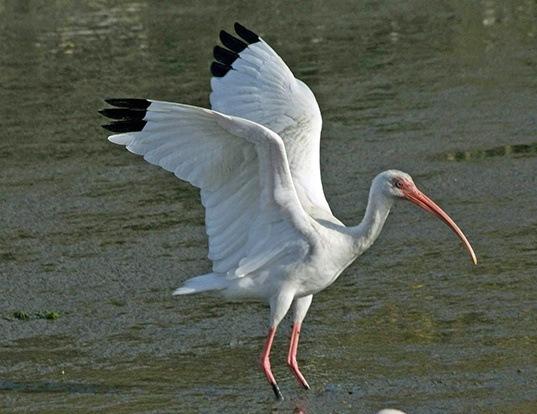 Picture of a white ibis (Eudocimus albus)