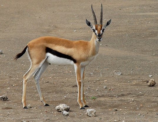 Picture of a thomson's gazelle (Eudorcas thomsonii)