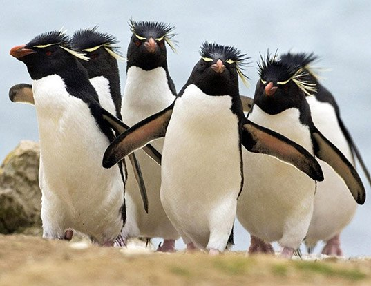 Picture of a southern rockhopper penguin (Eudyptes chrysocome)