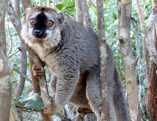 Picture of a red brown lemur (Eulemur rufus)