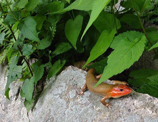 Picture of a broadhead skink (Eumeces laticeps)