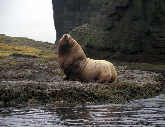 Picture of a steller sea lion (Eumetopias jubatus)