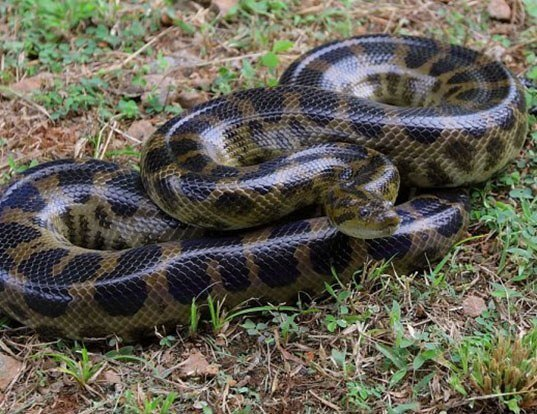 Picture of a dark-spotted anaconda (Eunectes deschauenseei)
