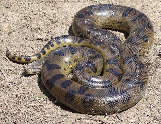 Picture of a green anaconda (Eunectes murinus)