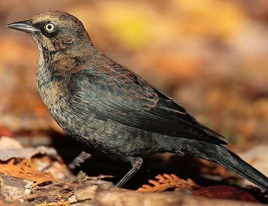 Picture of a rusty blackbird (Euphagus carolinus)