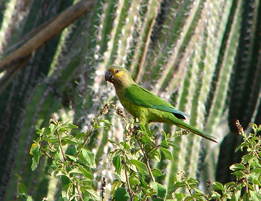 Picture of a brown-throated parakeet (Eupsittula pertinax)