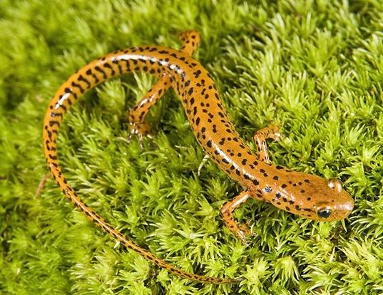 Picture of a longtail salamander (Eurycea longicauda)