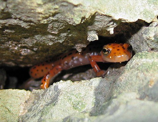 Picture of a cave salamander (Eurycea lucifuga)