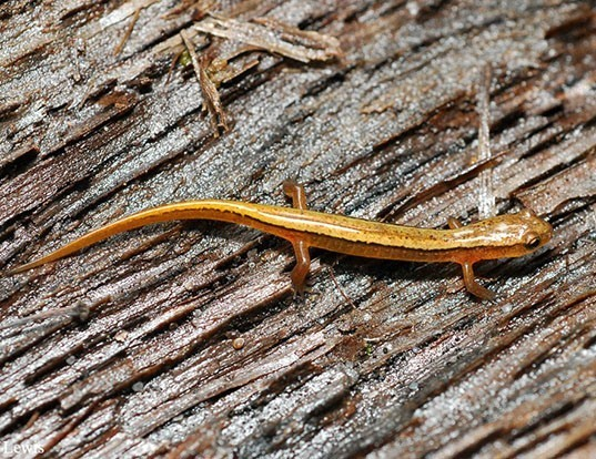 Picture of a blue ridge two-lined salamander (Eurycea wilderae)