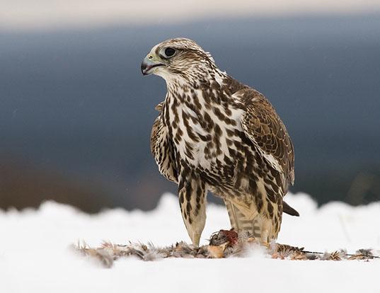 Picture of a saker falcon (Falco cherrug)