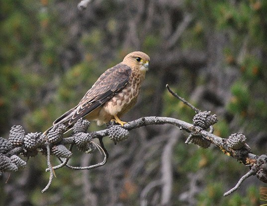Picture of a merlin (Falco columbarius)