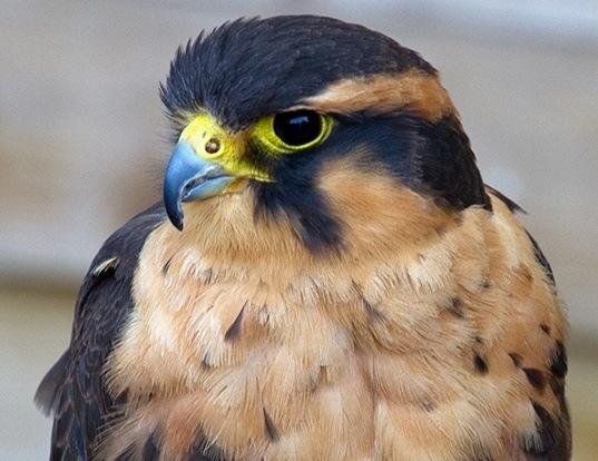 Picture of a aplomado falcon (Falco femoralis)
