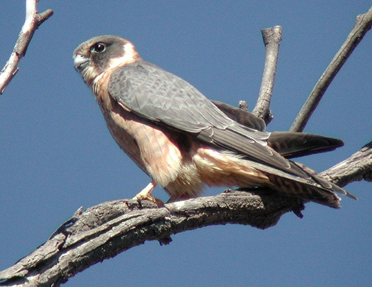 Picture of a australian hobby (Falco longipennis)