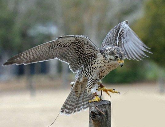 Picture of a prairie falcon (Falco mexicanus)