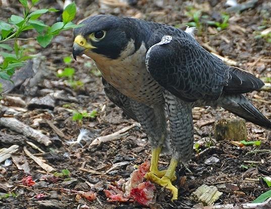 Picture of a peregrine falcon (Falco peregrinus)