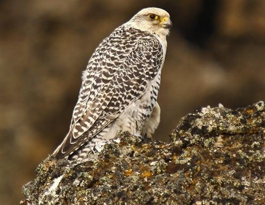 Picture of a gyrfalcon (Falco rusticolus)