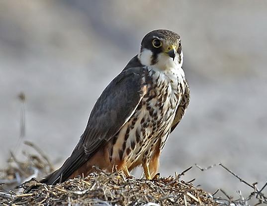 Picture of a eurasian hobby (Falco subbuteo)