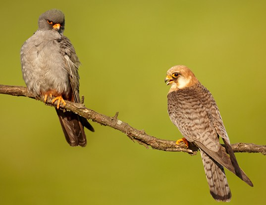 Picture of a red-footed falcon (Falco vespertinus)