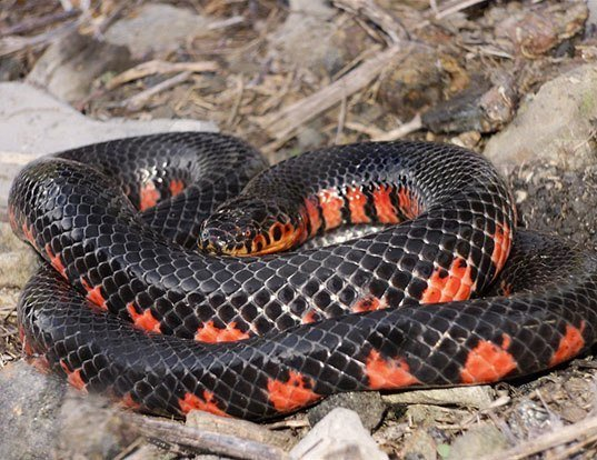 Picture of a western mud snake (Farancia abacura)