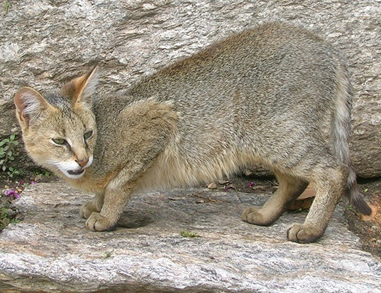 Picture of a jungle cat (Felis chaus)